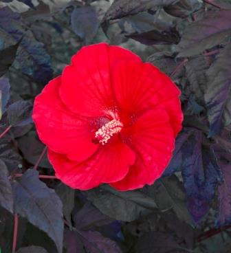 Midnight Marvel Perennial Hibiscus, Hardy Hibiscus