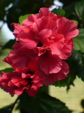 Pride Of Hankins Hibiscus Tropical Plants Almost Eden