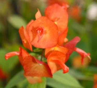 Orange Chinese Hat Plant, Cup and Saucer Plant, Parasol Flower