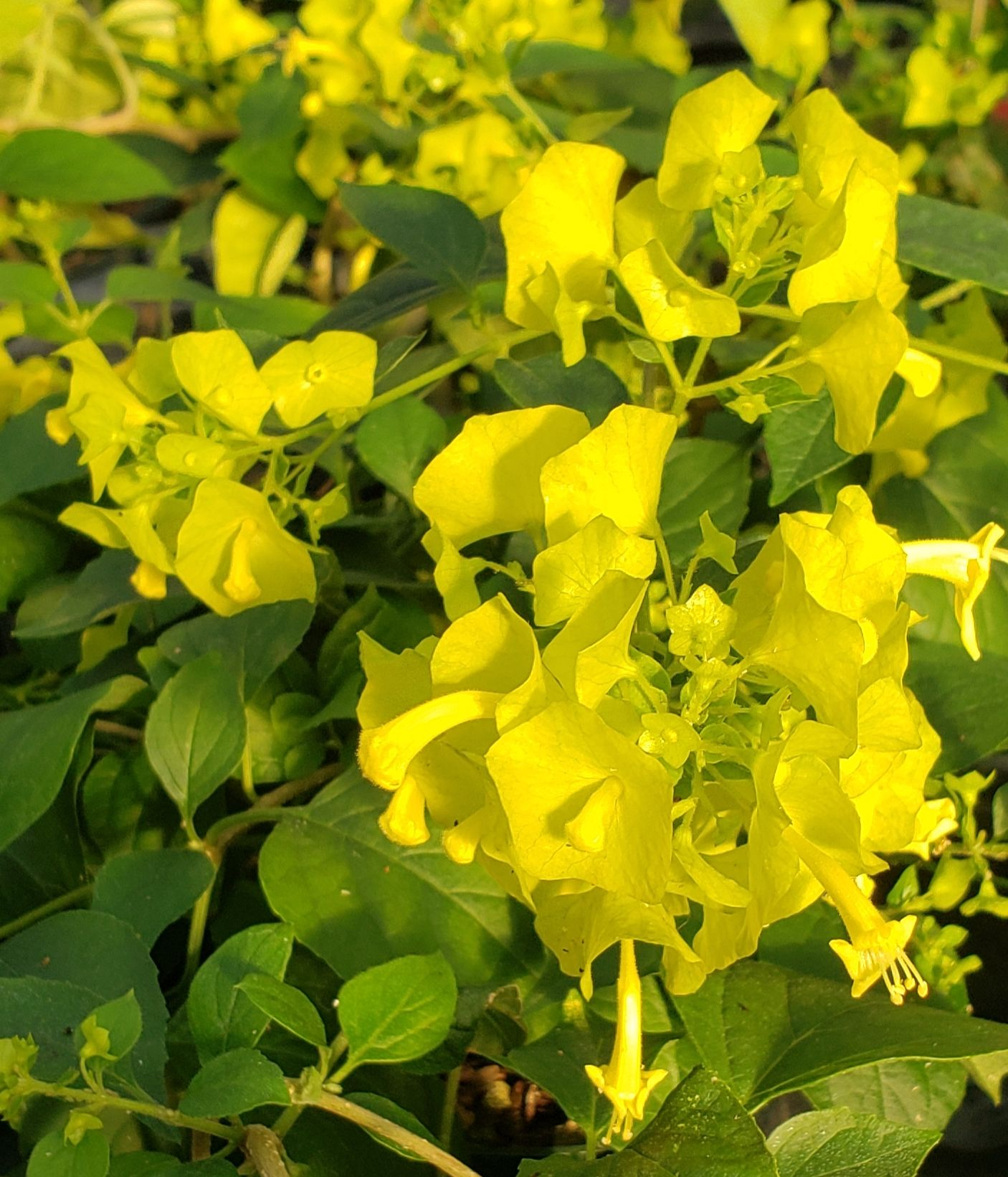 Yellow Chinese Hat Plant, Cup and Saucer Plant, Parasol Flower