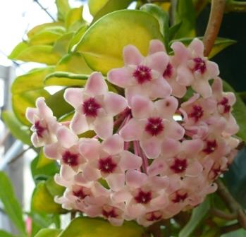 Tricolor Hoya, Porcelain Flower, Wax Flower