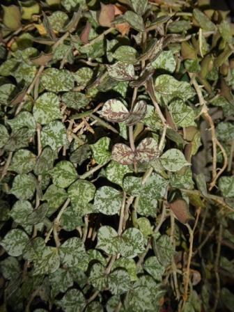 Fung Hoya, Waxflower, Porcelain Vine