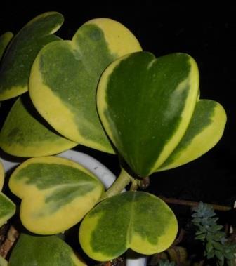 Variegated Heart Leaf Hoya, Wax Flower, Porcelain Flower