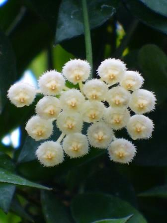 Fragrant Wax Flower, Hoya, Porcelain Flower