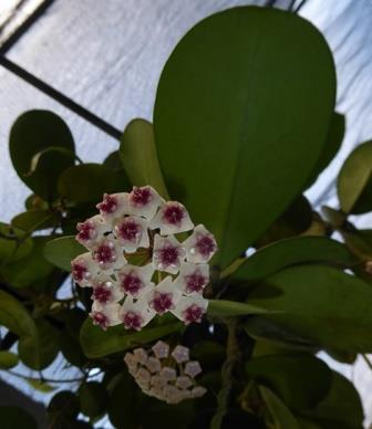 Hoya obovata, Porcelain Flower, Wax Flower