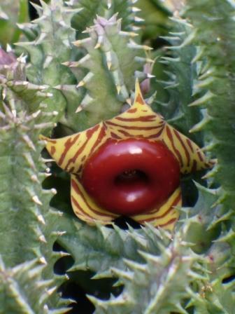 Lifesaver Cactus
