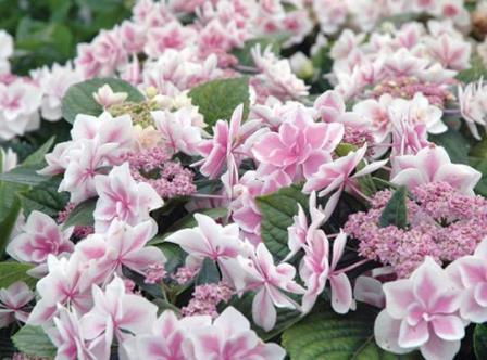 Double Delights™ Star Gazer Big Leaf Hydrangea (Double Lacecap), French Mophead Hydrangea