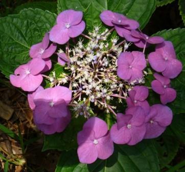 Blaumeise Big Leaf Hydrangea (Lacecap), French Mophead Hydrangea