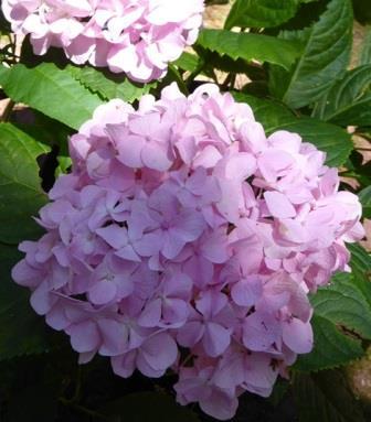 All Summer Beauty Big Leaf Hydrangea (Mophead), French Hydrangea