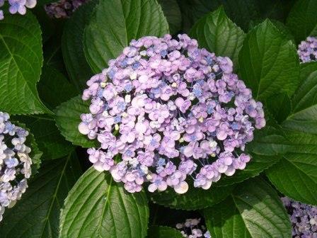 Ayesha Big Leaf Hydrangea (Mophead), Silver Slipper Hydrangea, Uzu Ajisai Hydrangea