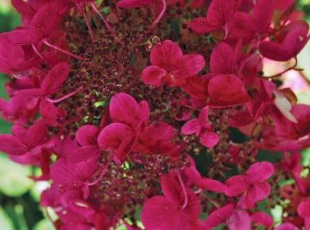 Fire and Ice Panicle Hydrangea