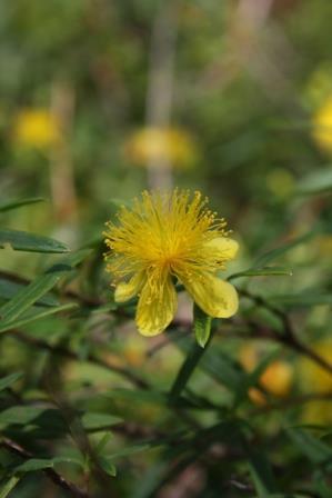 Creels Gold Star Hypericum, Bushy St. John's Wort