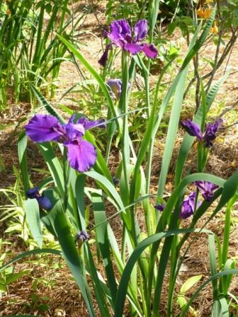 Rocky Hunt Louisiana Iris (Indigo-Blue, Early to Midseason)