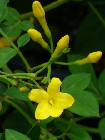 Italian Jasmine, Yellow Jasmine, Himalayan Jasmine, Florida Yellow Jasmine