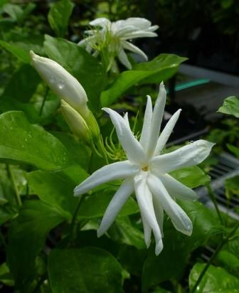Elongata Sambac Jasmine