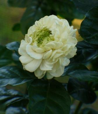 Grand Duke of Tuscany Jasmine, Rose Jasmine, Flore Pleno Jasmine