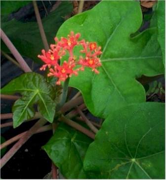 Buddha's Belly Bush, Bottle Plant, Gout Plant, Coral Plant