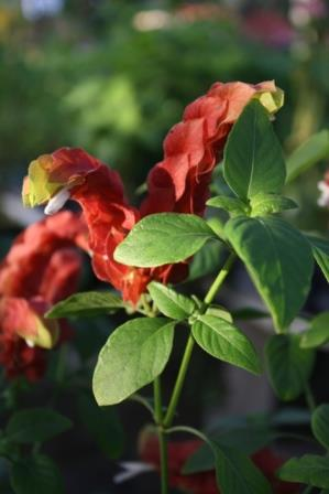 Red Shrimp Plant, False Hope, Shrimp Plant, Shrimp Bush