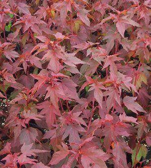 Kopper King Perennial Hibiscus, Hardy Hibiscus, Rosemallow