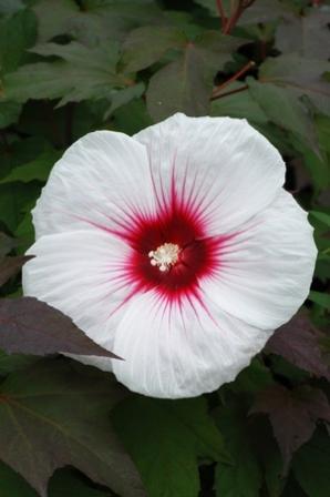 Kopper King Perennial Hibiscus Hardy Hibiscus Rosemallow