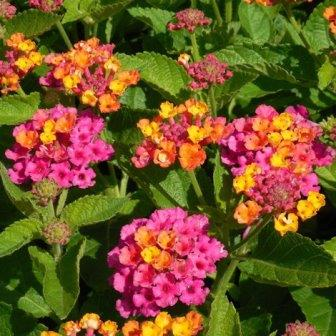 Bandana Cherry Sunrise Lantana Perennials Almost Eden