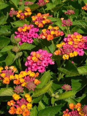 Bandana® Cherry Sunrise Lantana