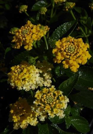 Landscape Bandana® Lemon Zest Lantana (Trailing, Yellow)