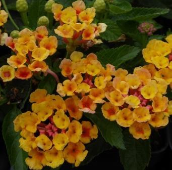 Bandana Orange Lantana Perennials Almost Eden