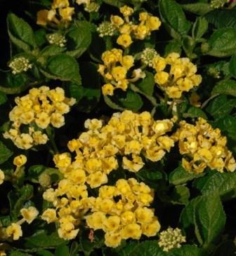 Bandana Yellow Lantana Perennials Almost Eden