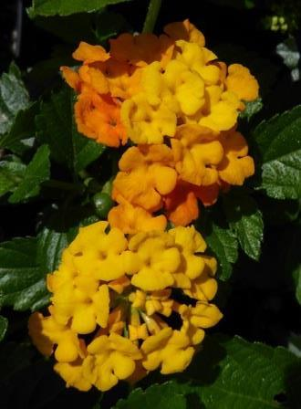 Belle Starr Gold Lantana (mounding to trailing, yellow)