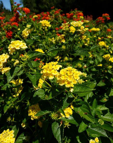 Chapel Hill Yellow Lantana (mounding, soft yellow)