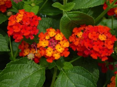 Dallas Red Lantana Bush Red Perennials Almost Eden