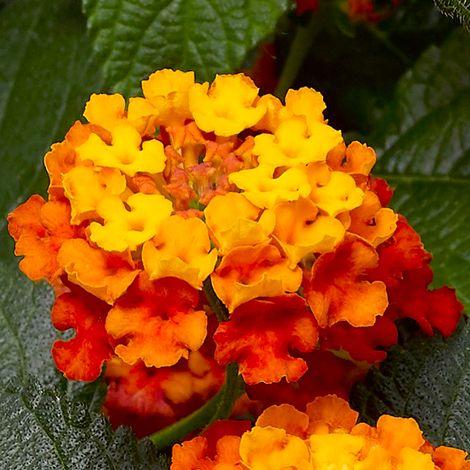 Landscape Bandana® Clementine Lantana