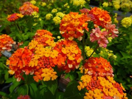 Miss Huff Hardy Lantana Bush Yellow Pink And Orange Perennials