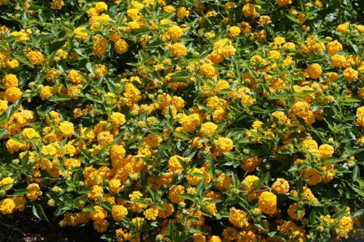New Gold Lantana Trailing Yellow Perennials Almost Eden