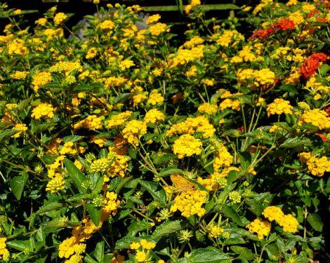 New Gold Lantana (trailing, yellow)