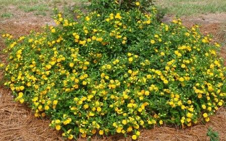 e74be6333d38ba New Gold Lantana (trailing, yellow) - Perennials - Almost Eden