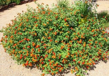 Red Spread Lantana Perennials Almost Eden