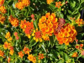 Spreading Sunset Lantana (Orange overtones, Trailing to Mounding), Lantana x 'Monet'