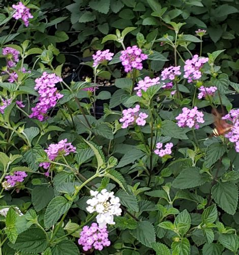 Purple Trailing Lantana, Weeping Lantana