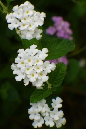 White Trailing Lantana Weeping Lantana Perennials Almost Eden