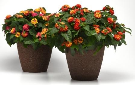 Bloomify™ Red Lantana