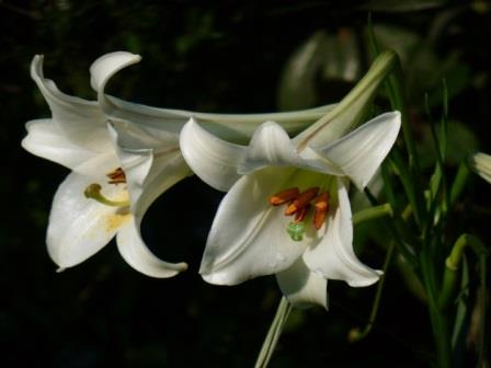 Formosa Lily, Phillipine Lily, Taiwan Mountain Lily
