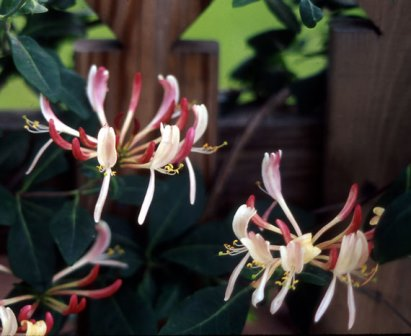 Late Dutch Honeysuckle