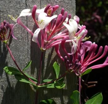 Pam Puryear's Pink Honeysuckle