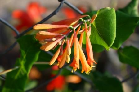 Tangerine Princess Coral Honeysuckle