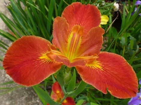 Fiesta Gal Louisiana Iris (Red, Yellow Signals, Midseason)