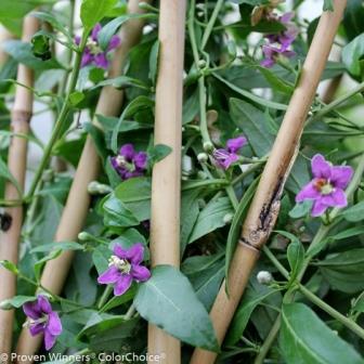 Sweet Lifeberry® Goji Berry, Wolfberry, Matrimony Vine
