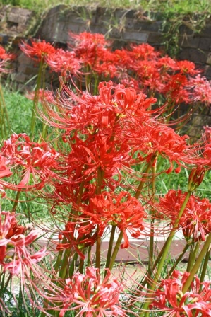 Red Spider Lily, Hurricane Lily, Naked Lily, Surprise Lily, Red Lycoris, Naked Ladies