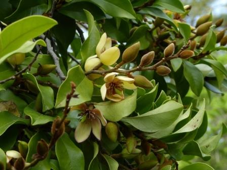 Banana Magnolia Banana Shrub Fragrant Plants Almost Eden